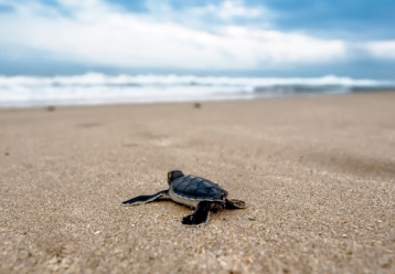 ReThinkDisposable_Sea Turtle_Adobe Spark (1).png